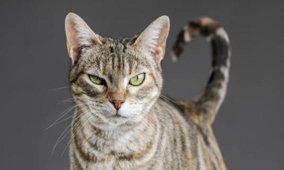 cistite idiopatica felina