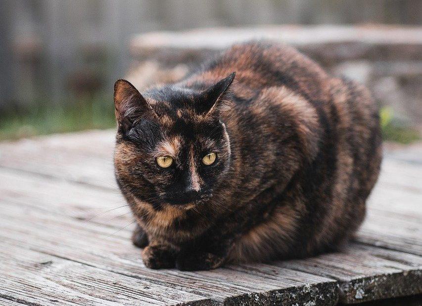 struvite gatto cura